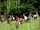 ilgili keçiler