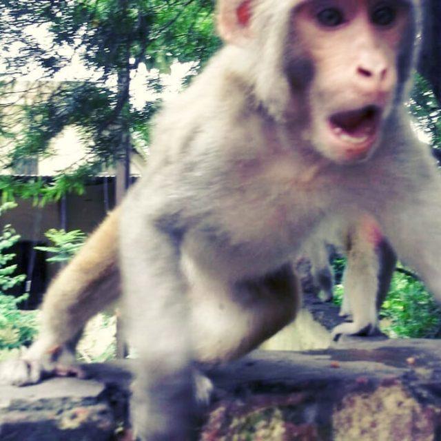 tbt 2011 rishikesh te beni trmalayan maymun uttarakhand  hindistanhellip